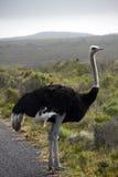 södra afrikansk ostrich Arkivfoto
