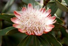södra afrikansk protea Royaltyfria Foton