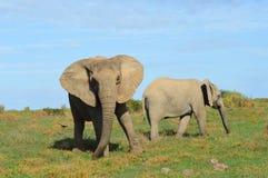 Södra - afrikanska elefanter som vänder mot kameran arkivbild