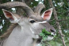 Södra - afrikanska manliga Kudu Fotografering för Bildbyråer
