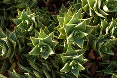 Södra - afrikanska Mitrealoeväxter Royaltyfria Bilder