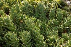 Södra - afrikanska Mitrealoeväxter Arkivbilder