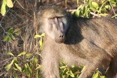 Södra - afrikanska primat Arkivfoto