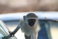 Södra - afrikanska primat Fotografering för Bildbyråer