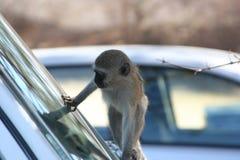 Södra - afrikanska primat Arkivbild