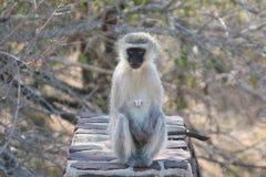 Södra - afrikanska primat Arkivfoton