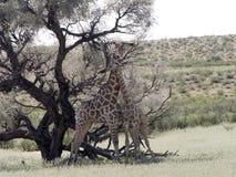Södra - afrikanskt giraffbröllop dansar, Giraffacamelopardalisgiraffaen, Kalahari, Sydafrika royaltyfria foton