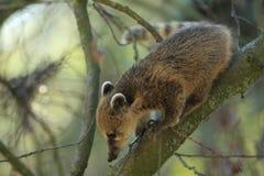 Södra - amerikansk coati Arkivfoton
