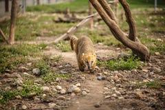 södra amerikansk coati Royaltyfri Fotografi
