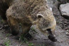 södra amerikansk coati Fotografering för Bildbyråer