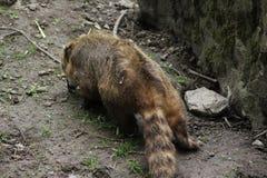 södra amerikansk coati Arkivbild