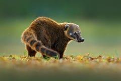 Södra - amerikansk Coati, Nasuanasua, härligt solljus Coatinaturlivsmiljö, Pantanal, Brasilien djur från vändkretsskogen Wildli Royaltyfri Bild