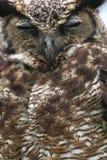 Södra - amerikansk horned uggla Royaltyfri Bild