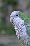 Södra - amerikansk papegojaMyiopsitta monachus Royaltyfri Fotografi