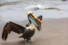 Södra - amerikansk pelikan på Ballestas öar i den Paracas nationalparken. Peru. Arkivbild