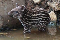 Södra - amerikansk tapir royaltyfri foto