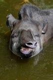Södra - amerikansk tapir Arkivfoton