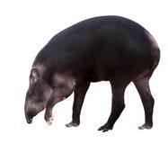 Södra - amerikansk tapir. Isolerat över vit Arkivfoton