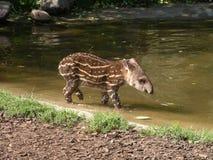 Södra - amerikanska djur Royaltyfria Bilder