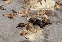 Södra - amerikanska sjölejon som är lata i The Sun Royaltyfria Foton