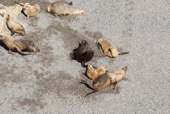 Södra - amerikanska sjölejon som är lata i The Sun Arkivfoto
