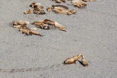 Södra - amerikanska sjölejon som är lata i The Sun Royaltyfri Foto
