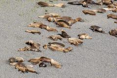 Södra - amerikanska sjölejon som är lata i The Sun Fotografering för Bildbyråer