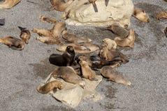 Södra - amerikanska sjölejon som är lata i The Sun Royaltyfri Fotografi