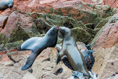 Södra - amerikanska sjölejon som kopplar av på, vaggar av Ballestas öar i den Paracas nationalparken, Peru. Arkivfoton