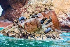 Södra - amerikanska sjölejon som kopplar av på, vaggar av Ballestas öar i den Paracas nationalparken, Peru. Royaltyfria Foton