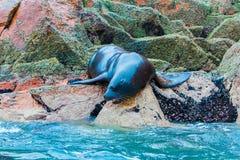 Södra - amerikanska sjölejon som kopplar av på, vaggar av Ballestas öar i den Paracas nationalparken, Peru. Fotografering för Bildbyråer