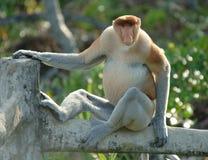 södra asia borneo östliga male apaprobiscis Fotografering för Bildbyråer