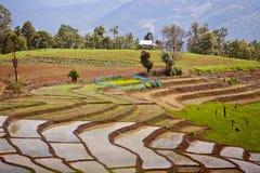 Södra asiatisk rice sätter in terrasser. Arkivbilder