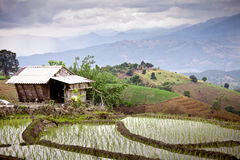 Södra asiatisk rice sätter in terrasser. Royaltyfri Fotografi