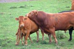 Södra Devon Bull i värme royaltyfri bild
