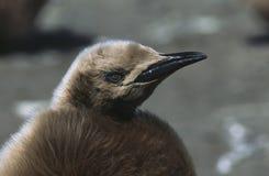 Södra Georgia Island barnslig konung Penguin för UK på strandslut upp Arkivbild
