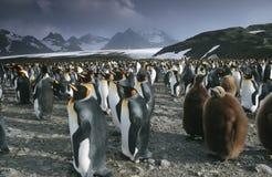 Södra Georgia Island koloni för UK av konungen Penguins  Arkivfoton