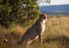 Södra gepard - - afrikansk reserv Arkivbilder