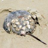 Södra krabba för Bethany strandhästsko 2016 arkivbilder