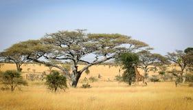södra naturlig reserv för africa liggandemadikwe Arkivfoto