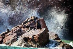 Södra Otariabyronia för amerikansk sjölejon Arkivbild