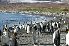 södra pingvin för kolonigeorgia konung Royaltyfri Foto