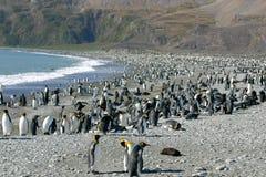 södra pingvin för kolonigeorgia konung royaltyfria bilder