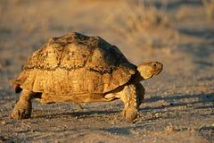södra sköldpadda för africa leopardberg Royaltyfria Bilder