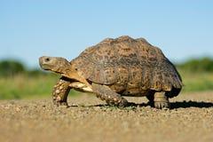 södra sköldpadda för africa leopardberg Royaltyfri Fotografi