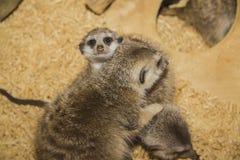 södra suricate för africa familjkalahari meerkat Arkivbilder