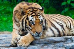 södra tiger för porslin Arkivfoto
