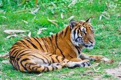 södra tiger för porslin royaltyfri foto