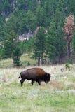 södra tillstånd för bisoncusterdakota park arkivfoton