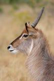 södra waterbuck för africa krugerpark Arkivfoto